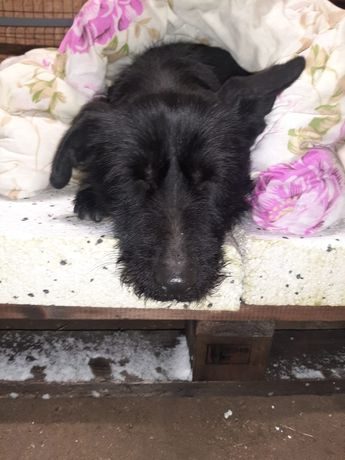 Znaleziono psa suka czarna