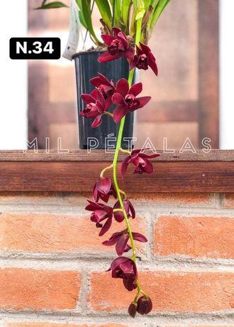 Orquideas Coleção 3-4 bolbos