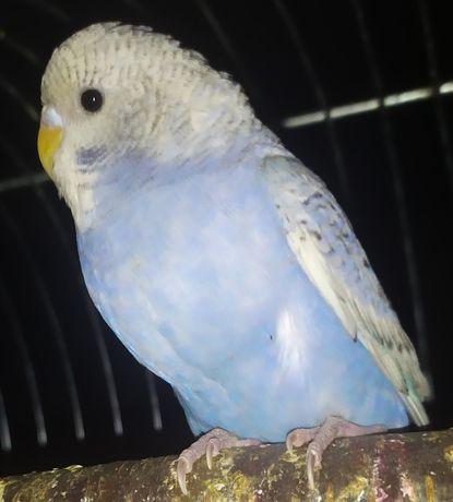 Papużki Faliste.