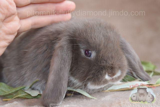 Разные расцветки вислоухих крольчат! Кролик из питомника. Привит.