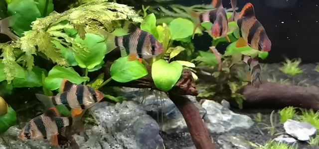 Brzanka sumatrzańska