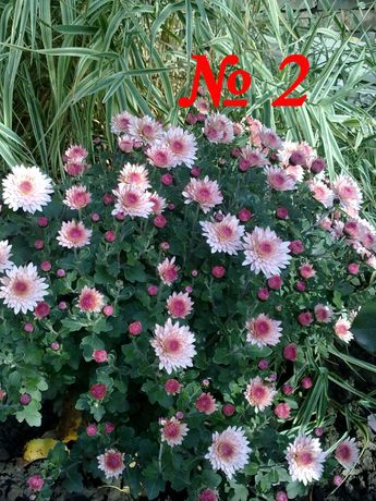 Хризантема шаровидная мелкоцветковая
