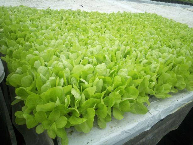Rozsada rozsady sadzonki sałaty sałata Omega