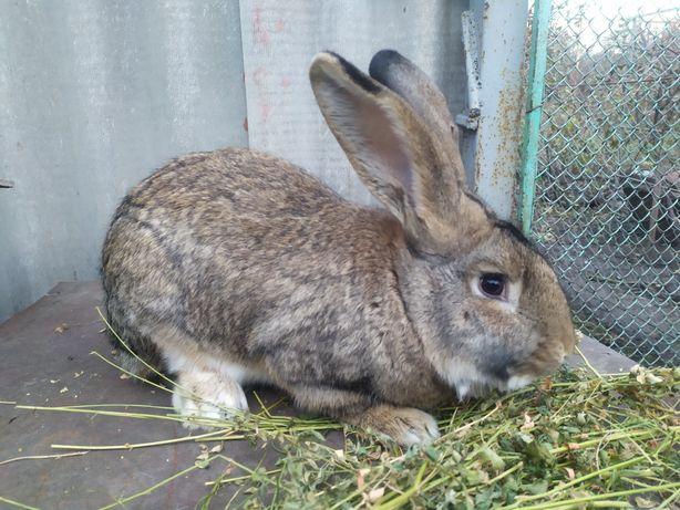 Кріль кроль кролик