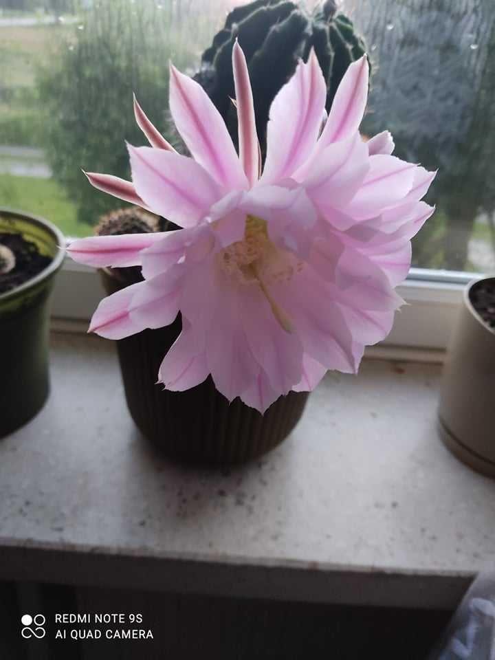"""Kaktus kwitnący Echinopis Eyries ,,Królowa jednej nocy """""""