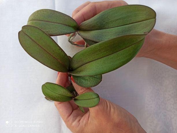 Дітки орхідеї