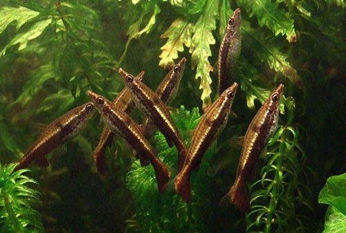 Пецилобрикон, удивительная аквариумная рыбка
