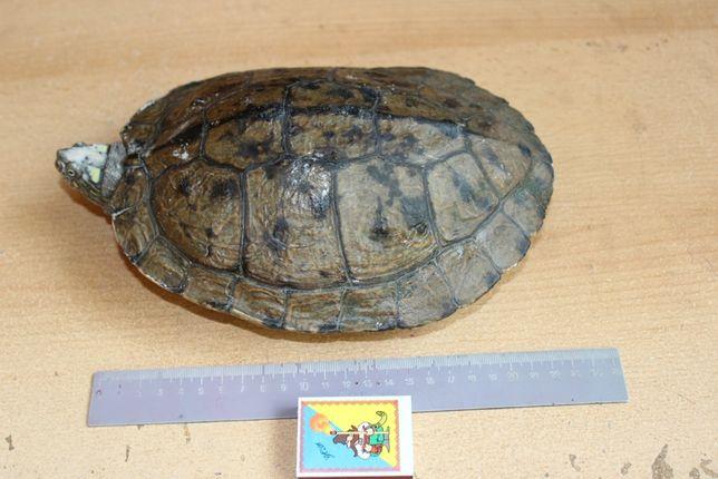 Черепаха водная большая