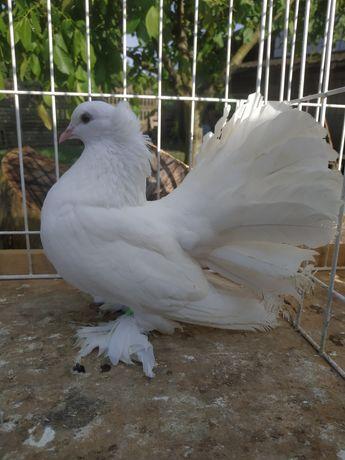 Pawiki indyjskie pawik indyjski gołębie ozdobne gołąb ozdobny