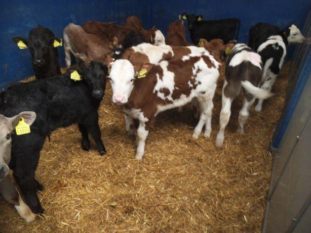 5Cieleta do hodowli, Byczki Jałówki Mięsne i inne, transport