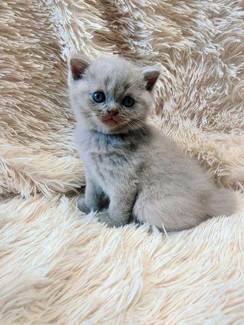 Продается котенок породы скотишстрайт