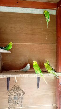 Papugi faliste samczyki