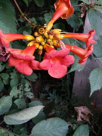 Камсис цветущая садовая ляна.