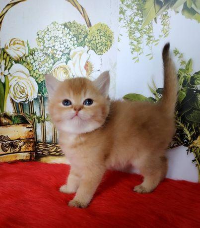 Вашингтон и Велла шотландские шоколадные золотые котята