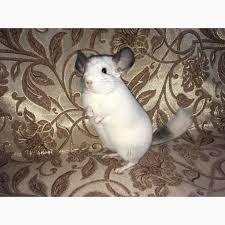 шиншилла белый вильсон мальчик 5 месяцев