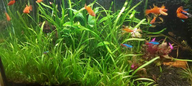 Rosliny akwariowe zestaw duzy - blyxa, rotala, nadwodka, ludwigia