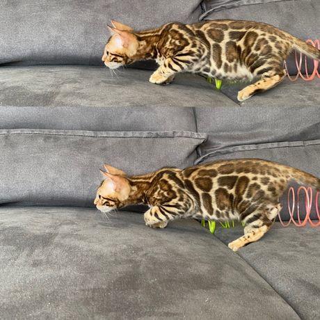 Питомник Бенгальских Кошек! Днепр!