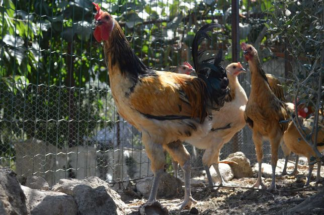 Galo da raça Andaluza Surenha Morucha para venda ou troca