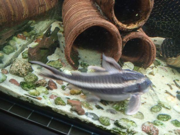 Duży Sum Liniowy Platydora Kolczasta 15cm ryba akwariowa