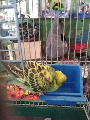 Волнистый попугай выкормыш, волнистые попугаи
