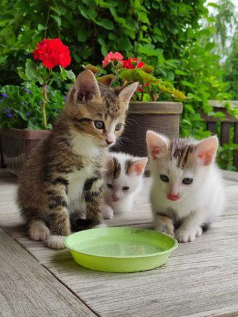 Trzy piękne kociaki szukają nowego domu