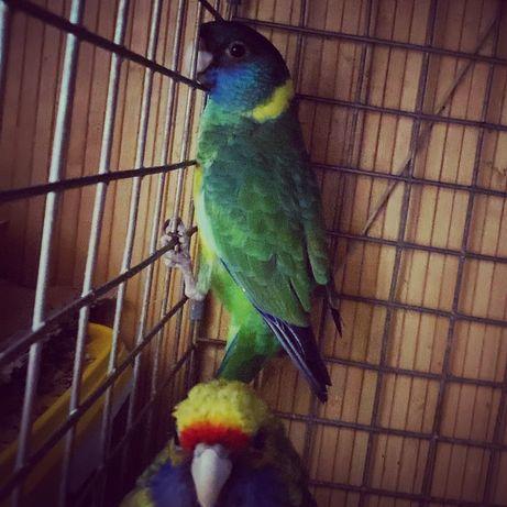 Попугай бернард