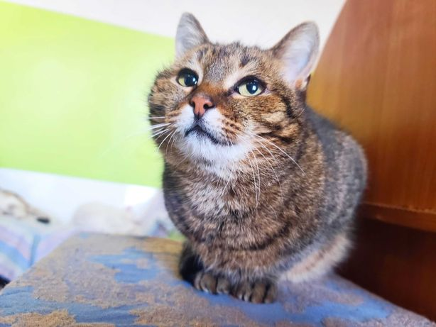 Ласка, 1 рік, красуня з шикарним сірим забарвленням шукає Дім! Кішка