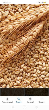 Продам зерно пшениці