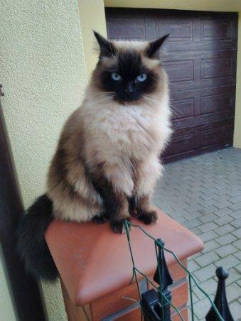 Zaginęła kotka rasy Ragdoll