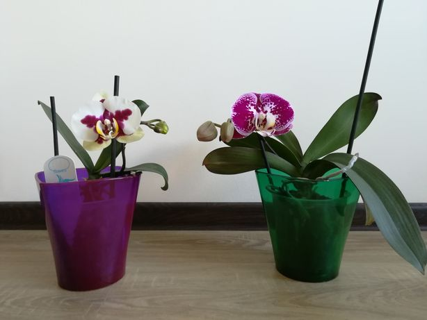 Орхідеї Фаленопсис для сучасної квартири
