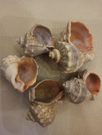 Рапаны, морские ракушки для аквариума и рукоделия
