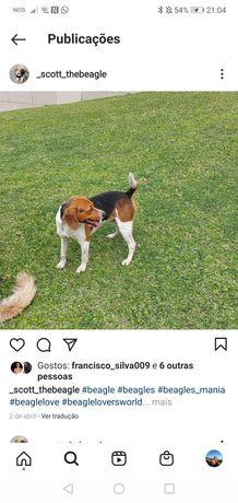 Beagle para cruzamento