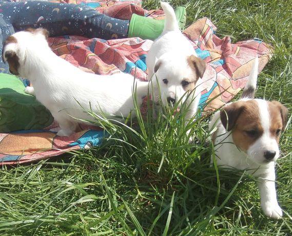 Jack Russell Terrier szczenięta z rodowodem