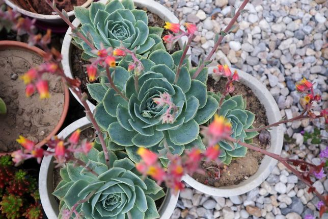 Suculenta Rosa-de-pedra (Echeveria glauca) - Mudas