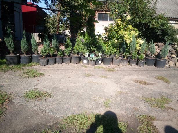 Декоративні рослини .