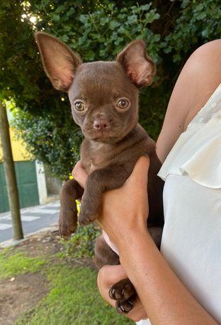 Chihuahua chocolates