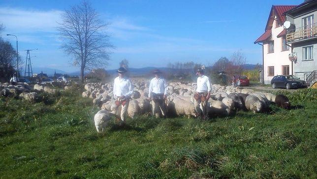 Owce z 2 jagniętami.