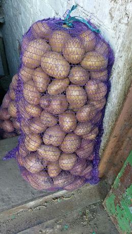 Картофель крупный, картошка крупная