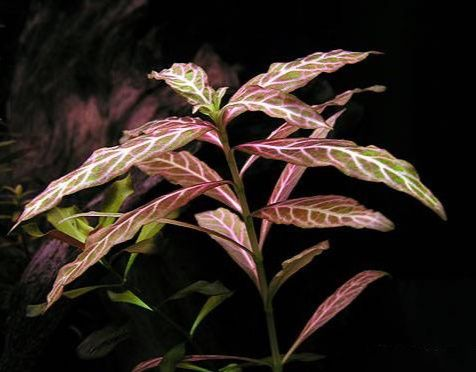 Hygrophila Polysperma Red (gałązka)
