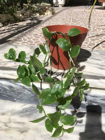 Vaso com a planta erva da fortuna