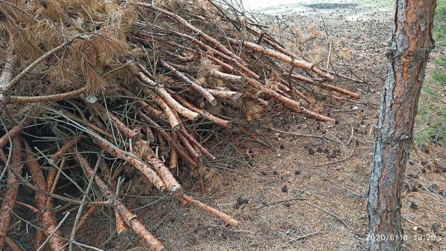 Suche gałęzie sosna