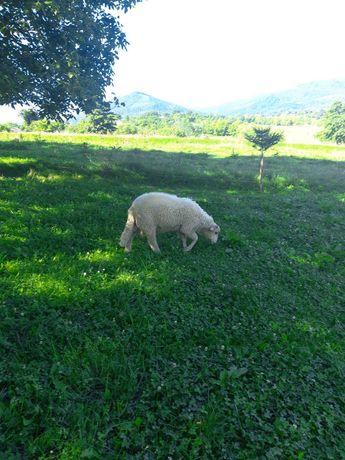 вівці  барани   ягнята
