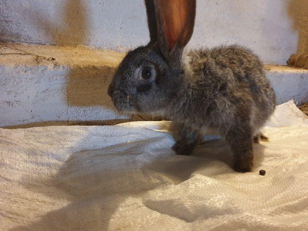 Królik króliki Samice
