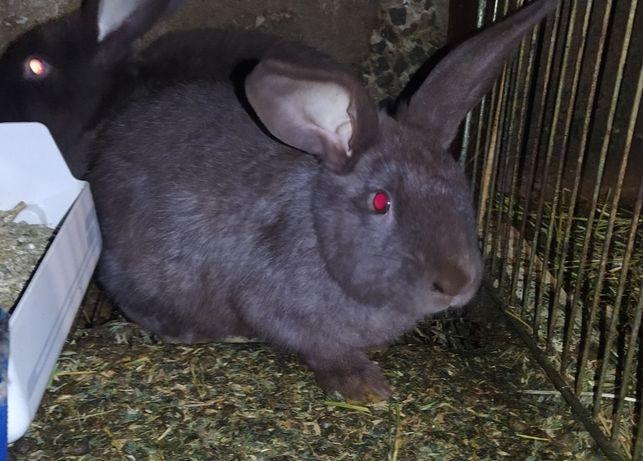 Вязка кроликов продажа