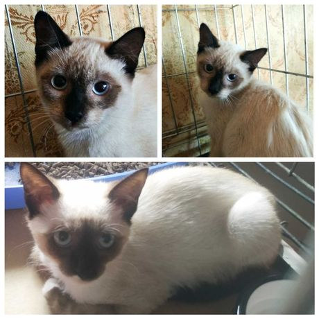 Хорошенький сиамский котенок - девочка, 4 мес, кошка, котята