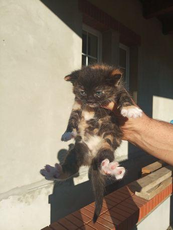 Віддам в хороші руки кошеня кицьку