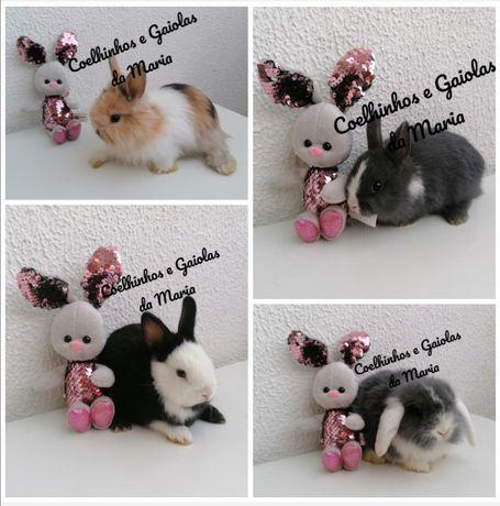 KIT Coelhos Anões Mini Toy, Tedy, Holandêz, Mini Lop Belier Orelhudo