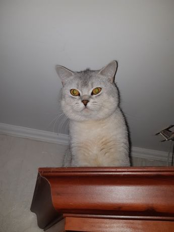 Вязка, кот шиншилла