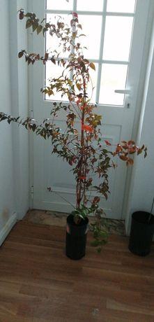 Plantas Pitanga vermelha