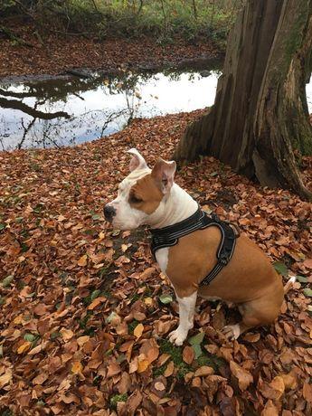American Staffordshire Terrier, śliczna Sunia z rodowodem - pilne